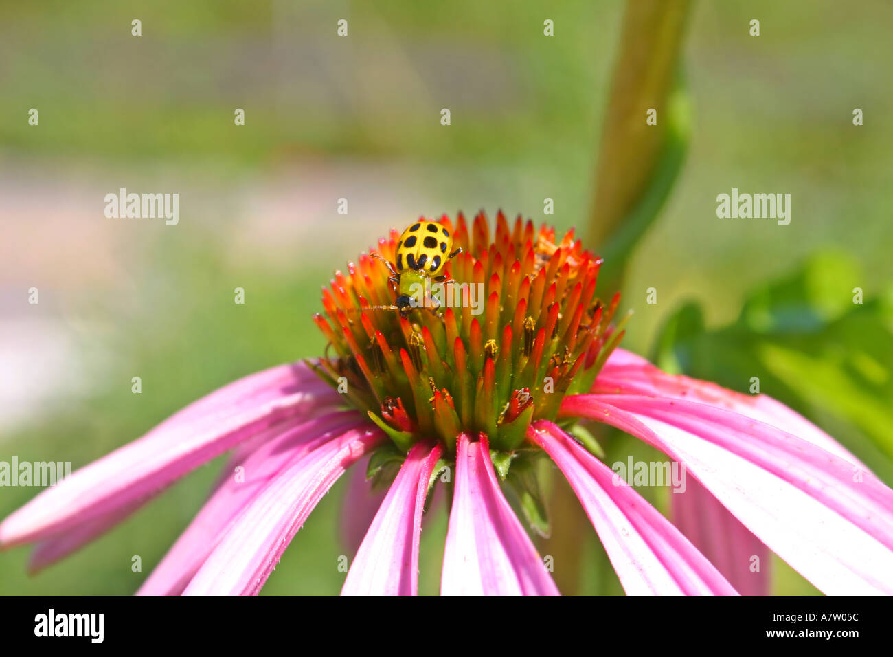 Pink Echinacea Flower with a Yellow Lady Bug - Stock Image