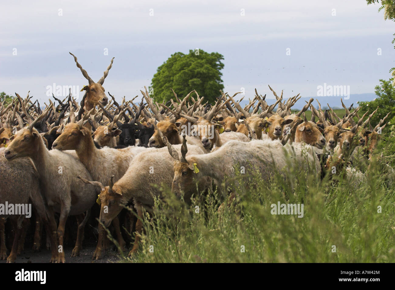 Walachian (Ovis ammon f. aries), herd, Hungary, Neusiedler See, Nationalpark Fertoe-Hansg - Stock Image