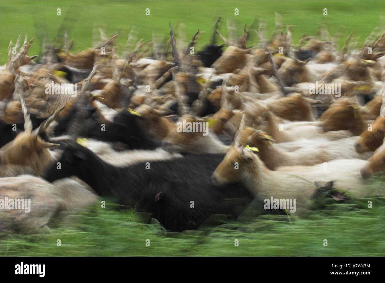 Walachian (Ovis ammon f. aries), herd, blurred motion, Hungary, Neusiedler See, Nationalpark Fertoe-Hansg - Stock Image