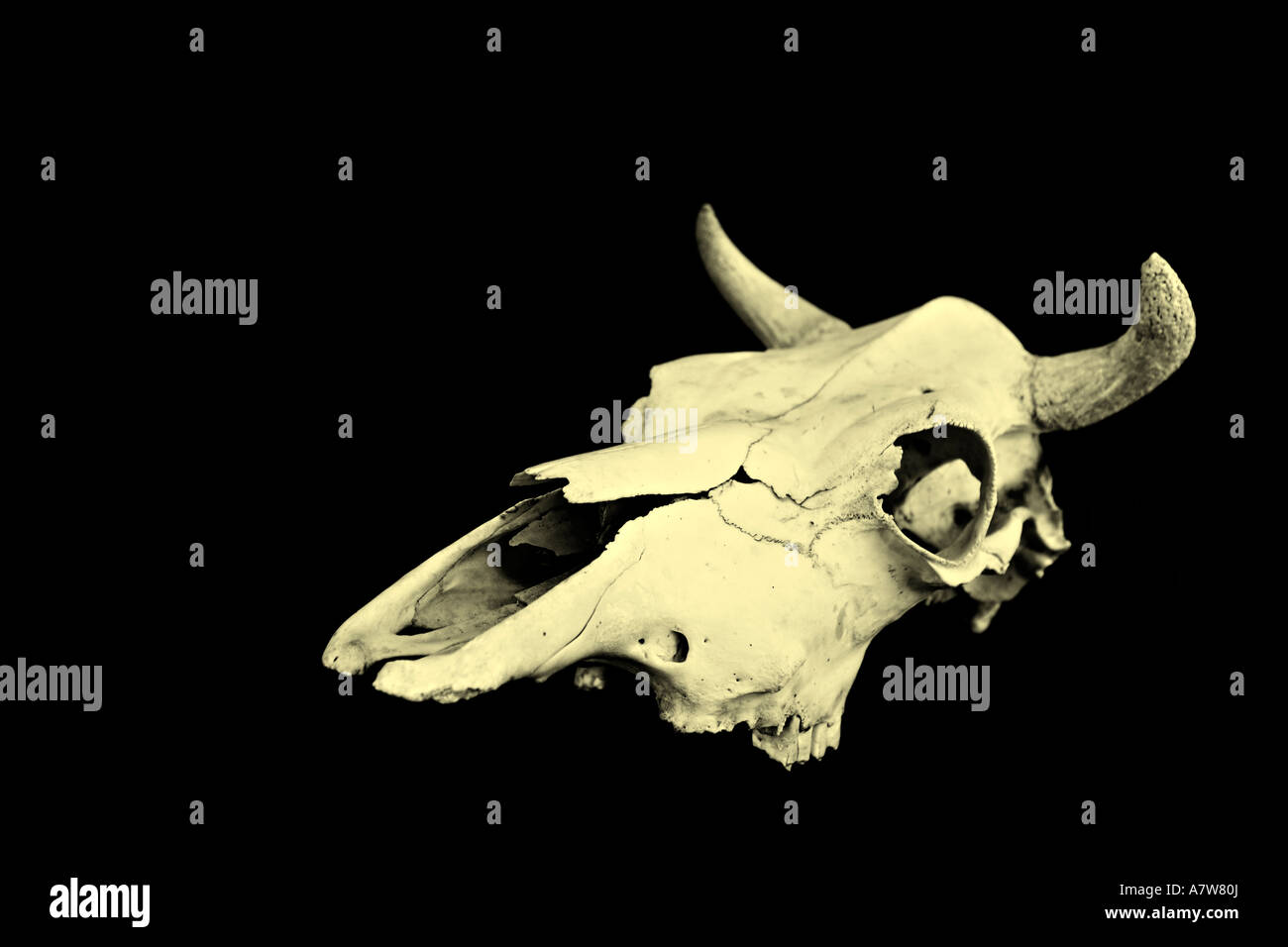 Cow Skull Stock Photos & Cow Skull Stock Images - Alamy