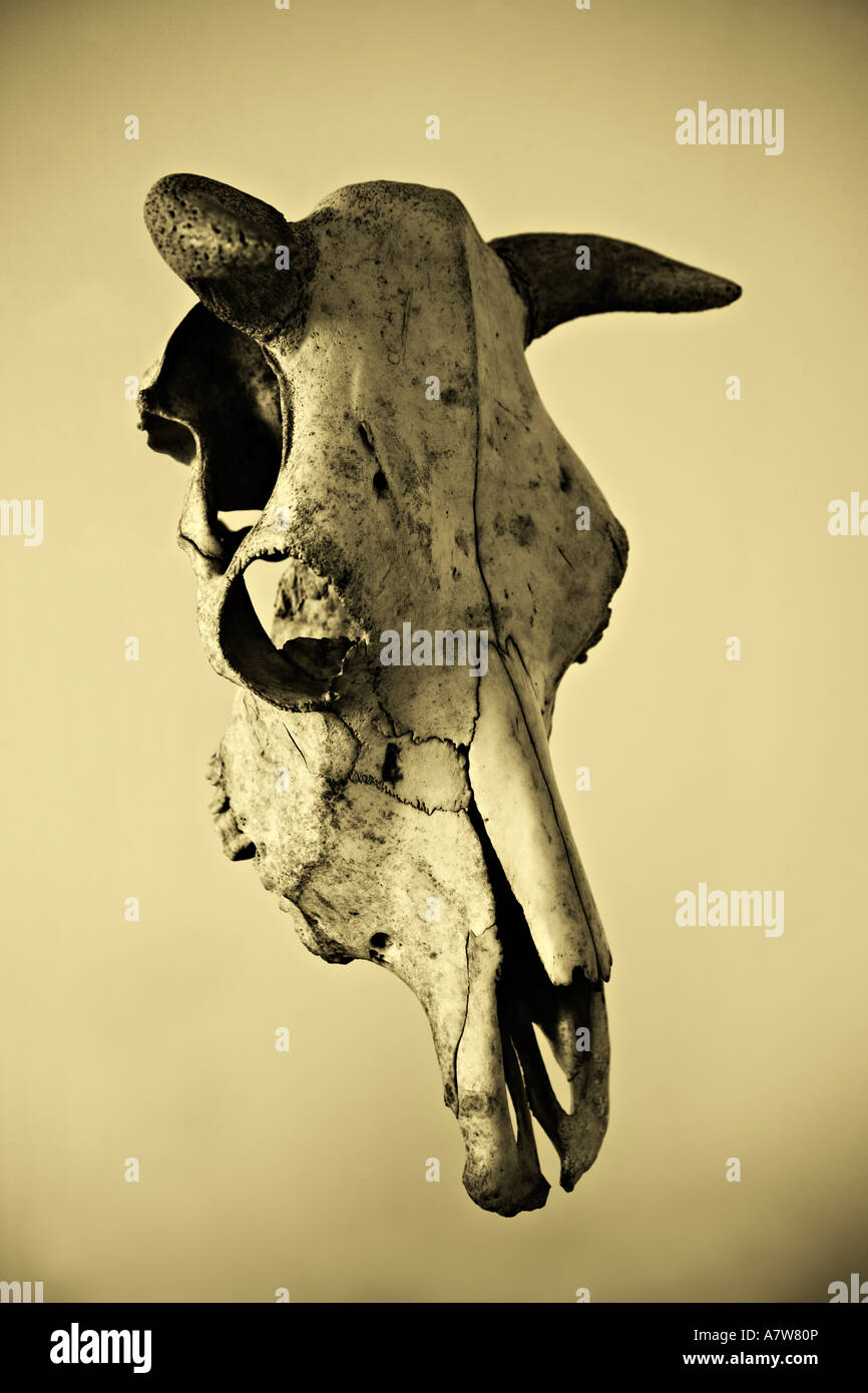Cow skull - Stock Image