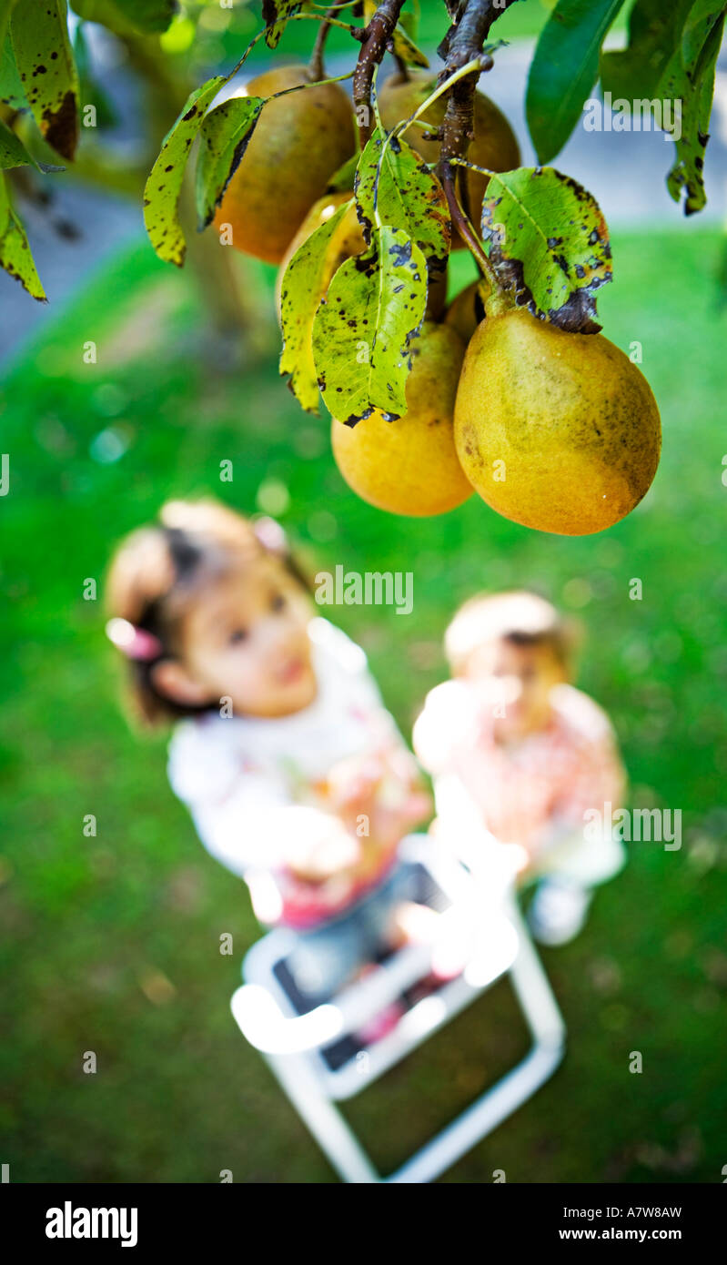 Child reaches up for pears on tree Stock Photo