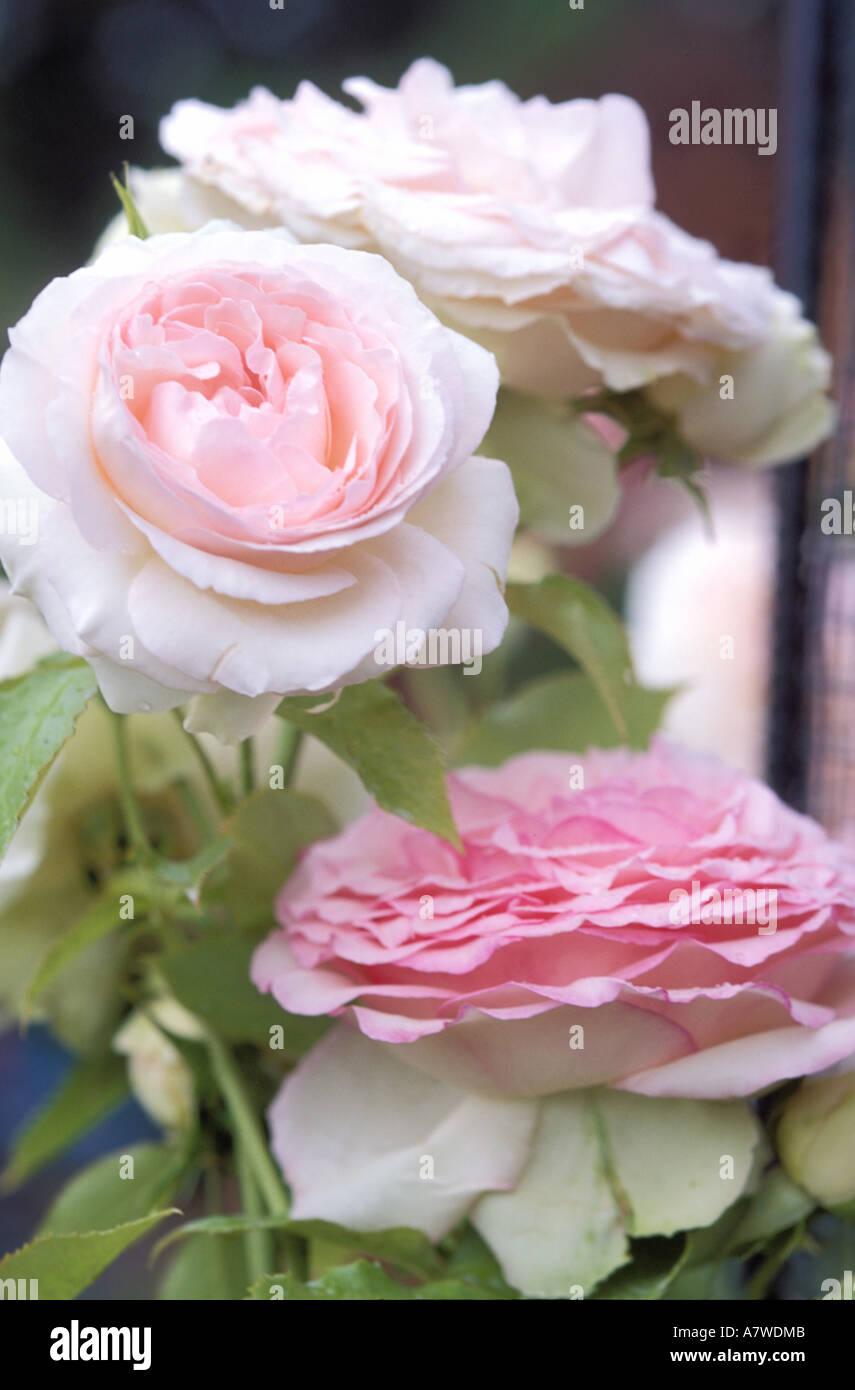 France Roses Pierre De Ronsard Stock Photo 6810378 Alamy