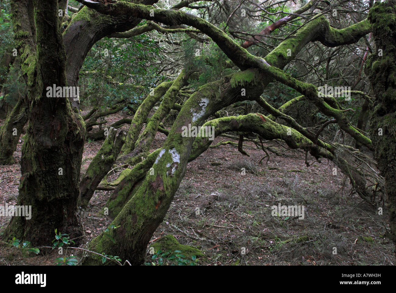 Virgin laurel forest in Garajonay national park, La Gomera Island, Canary Islands, Spain, Europe Stock Photo