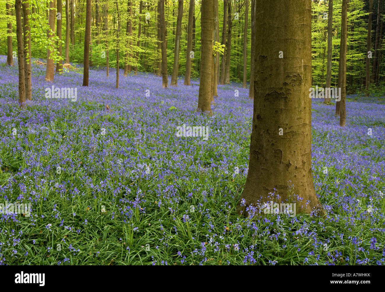 Hallerbos-Forest with bluebell Stock Photo