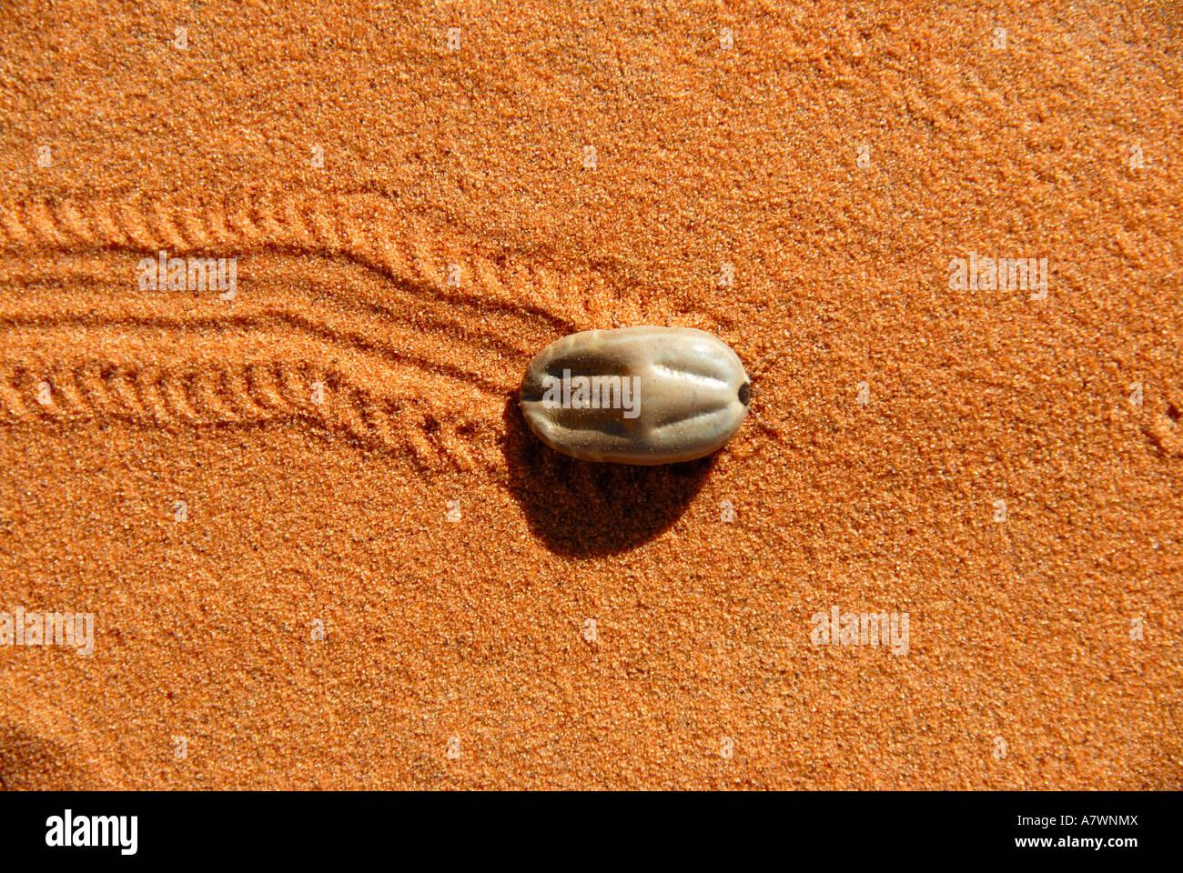 Plump tick runs through the sand and leaves a trace track Erg Chebbi Merzouga Morocco - Stock Image