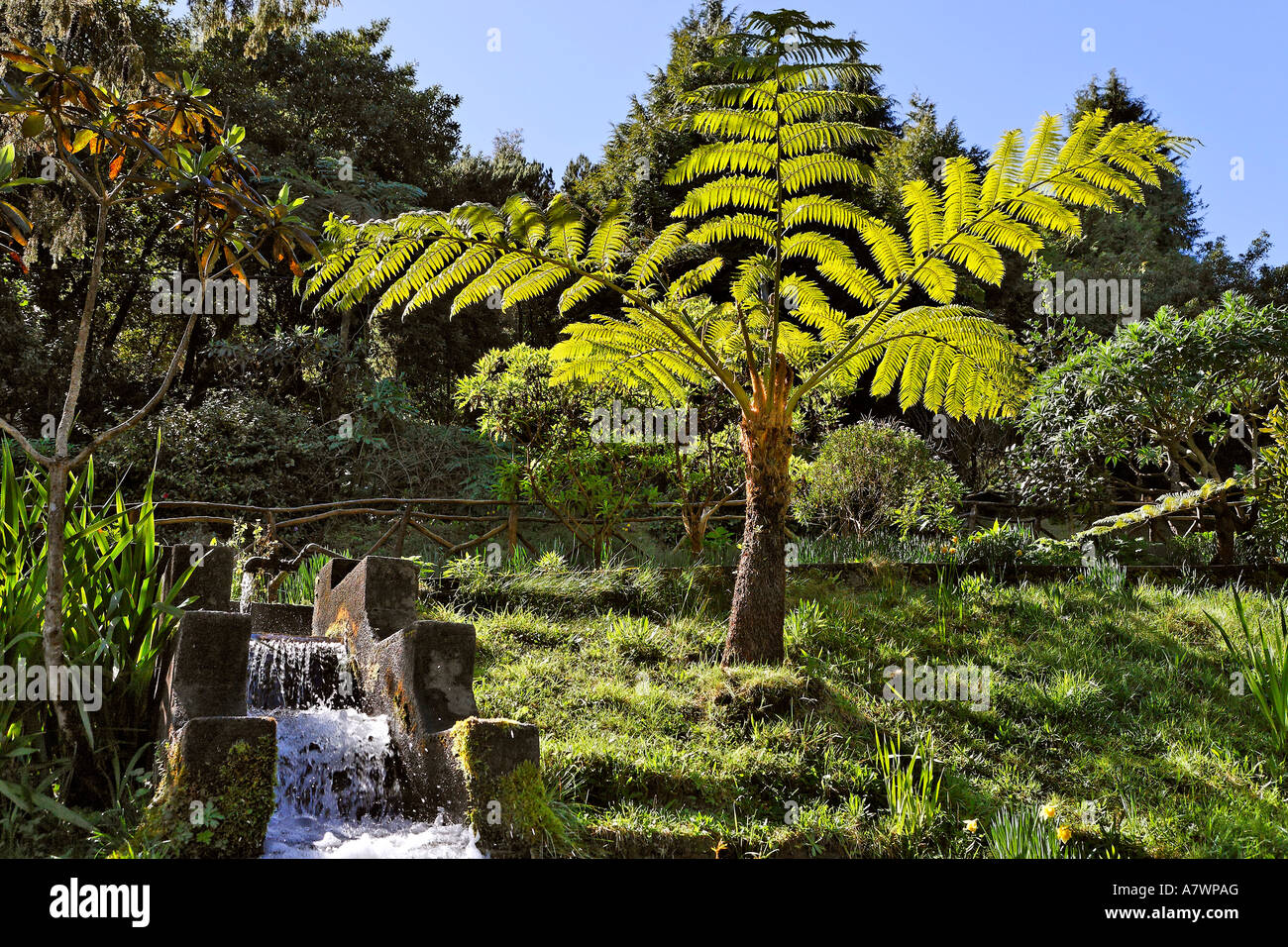A fern tree at the trout breeding, Ribeiro Firo, Madeira, Portugal - Stock Image
