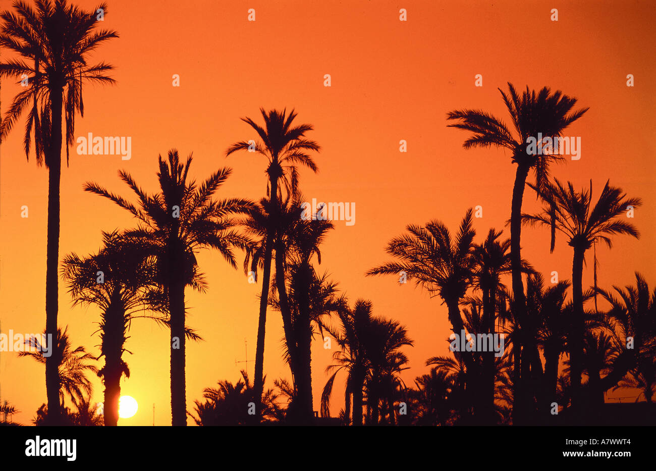 Morrocco, Marrakech, palm trees - Stock Image