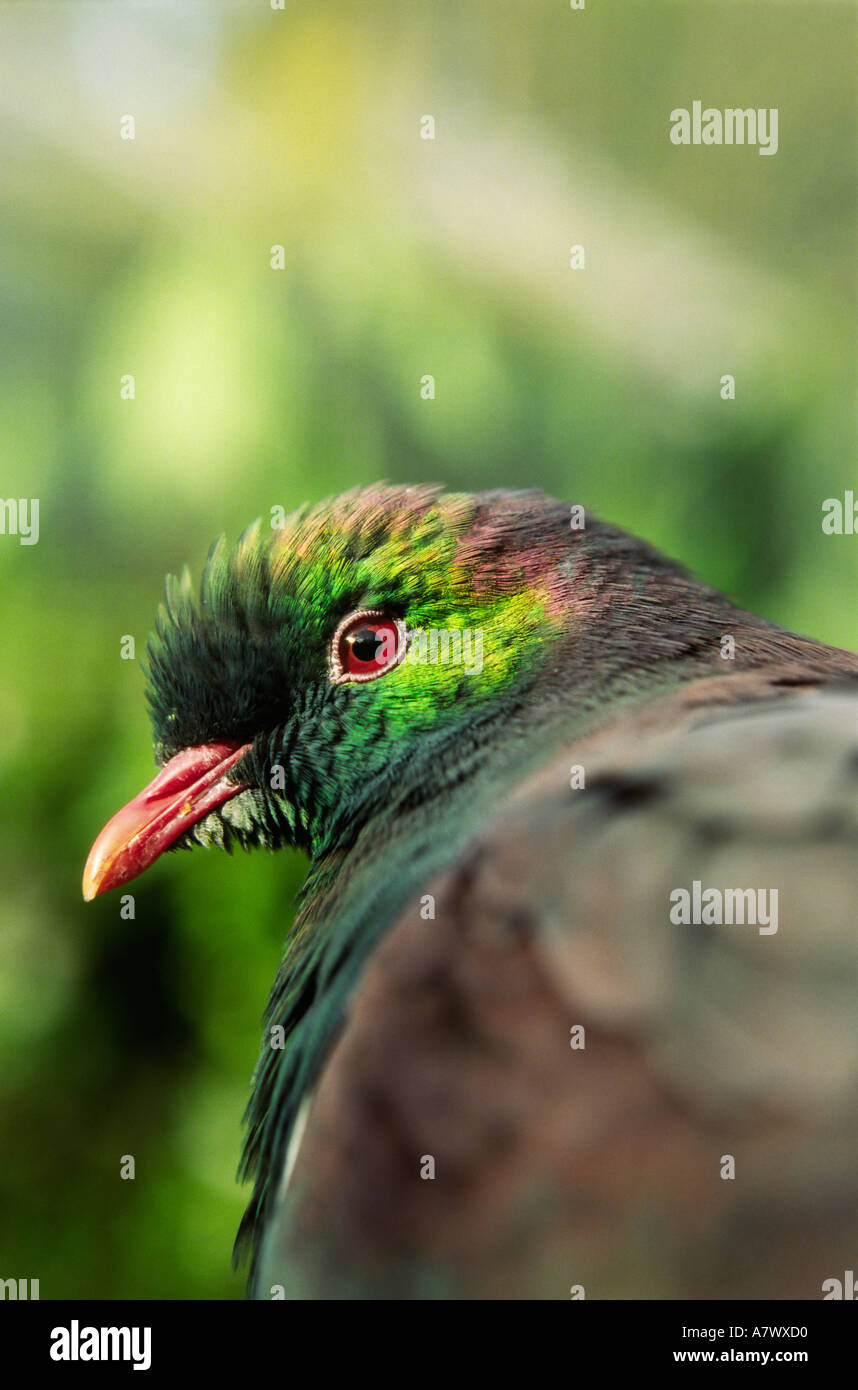 Close up of native New Zealand Wood Pigeon Hemiphaga novaeseelandiae - Stock Image