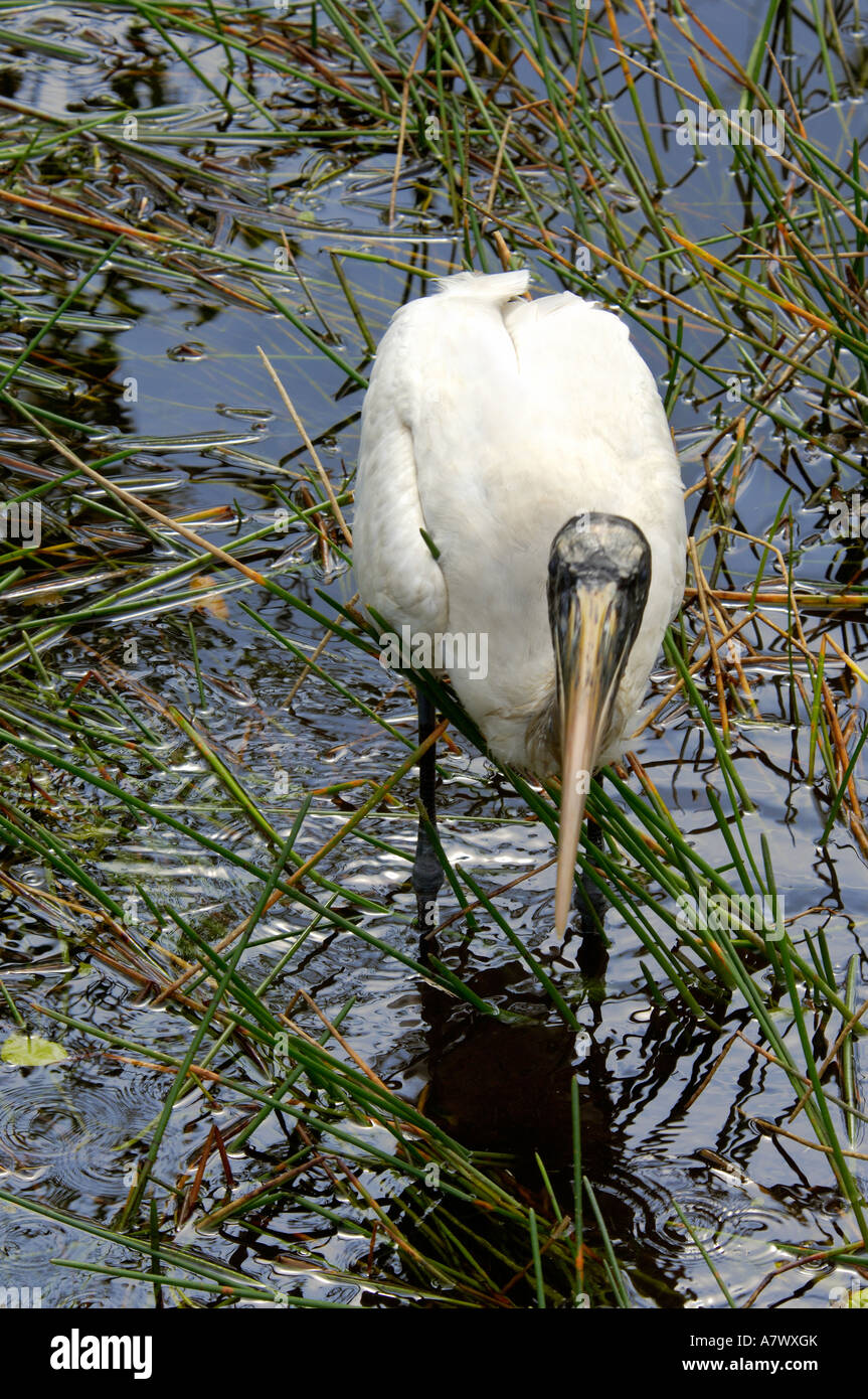 Wood stork an endangered species fishing in Everglades National Park Florida. Digital photograph - Stock Image