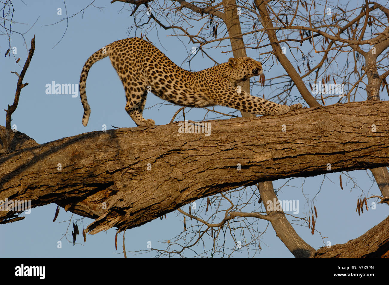 Leopard  Female stretching after relaxing on the branch of a tree. Savuti Channal, Linyanti area. BOTSWANA. Southern Stock Photo