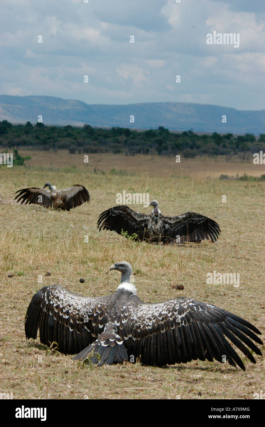 Kenya: Masai Mara Game Reserve, Mara Conservancy, 3 Ruppell's Griffon vultures spreading their wings to dry, September Stock Photo