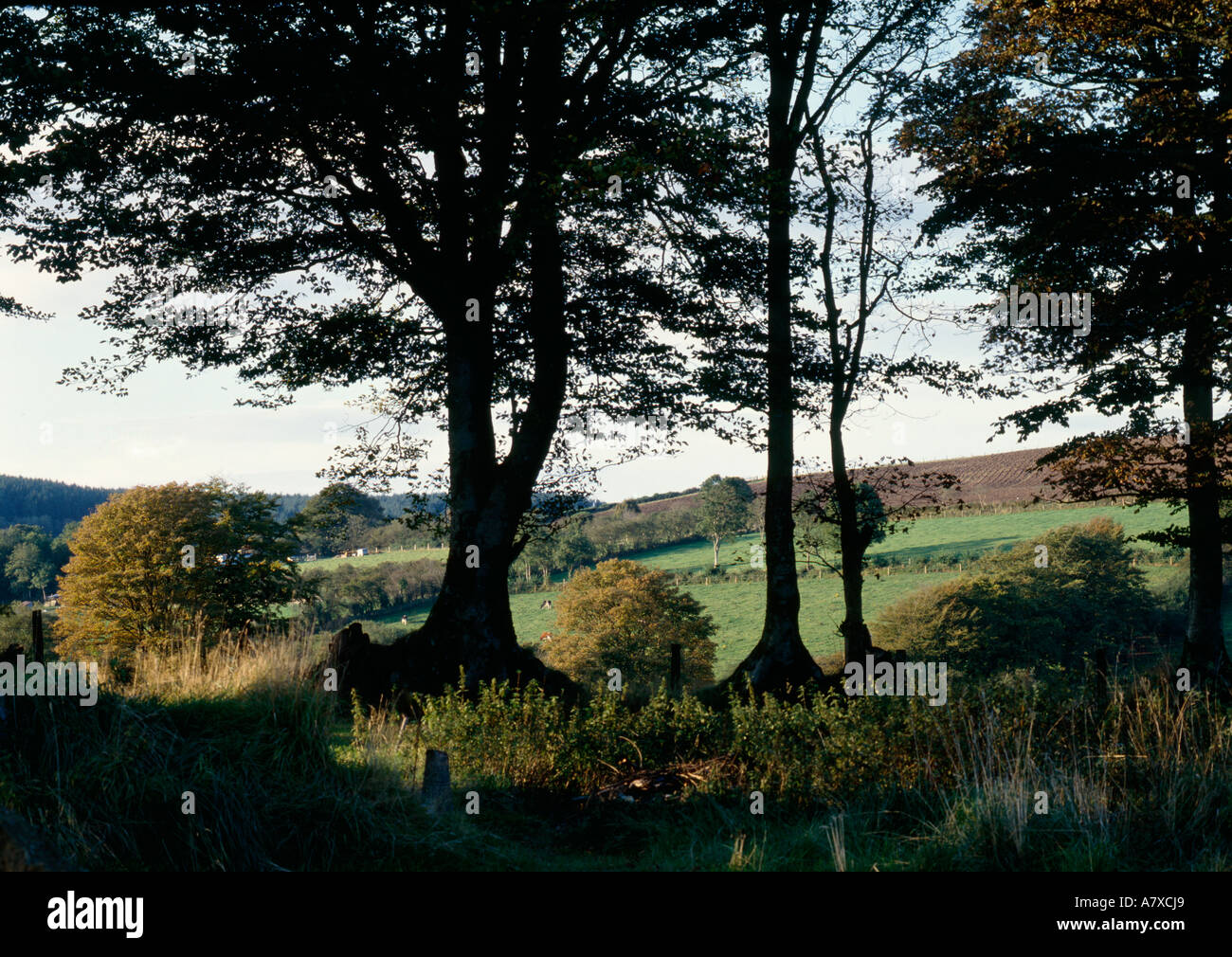 Tall Boundary Beech in hedgerow Cardiganshire Wales - Stock Image