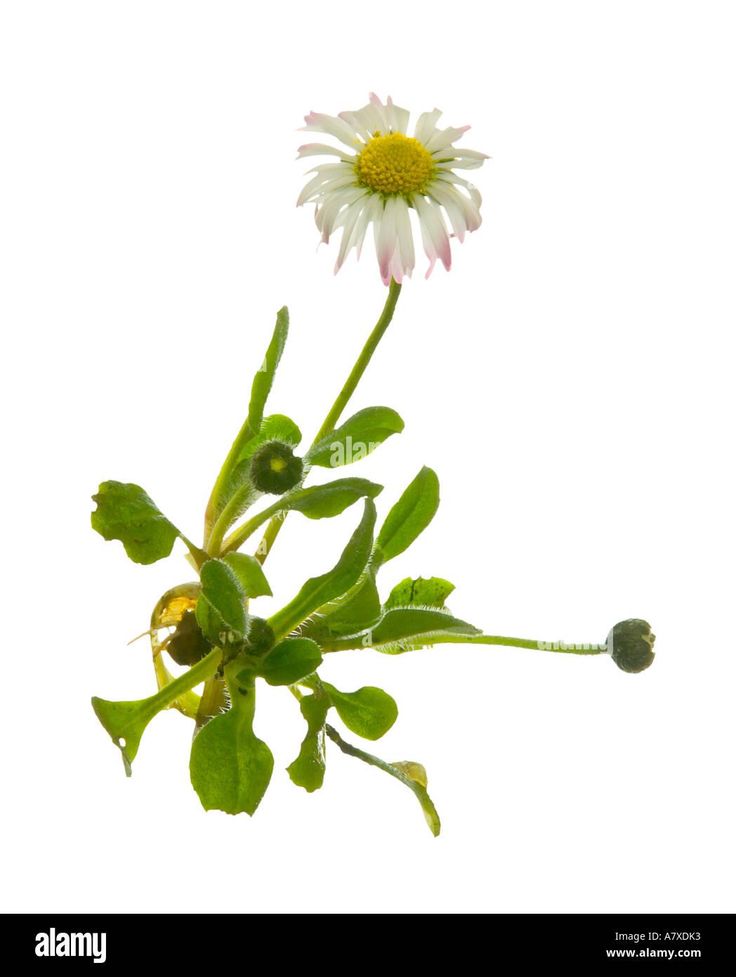England Wild Flower Daisy Bellis Stock Photos England Wild Flower