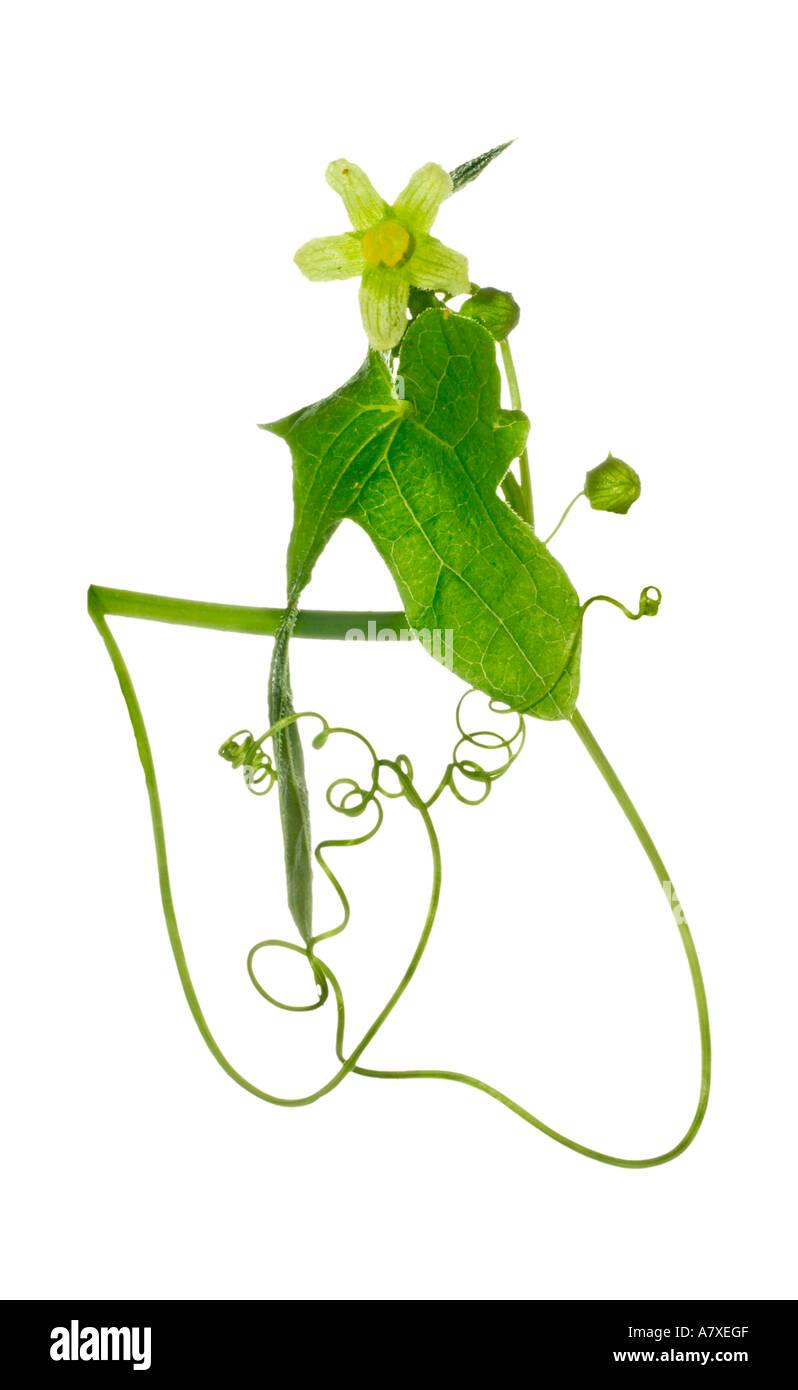 Traveller s joy Clematis vitalba Flower leaf buds tendrils Surrey England Summer - Stock Image
