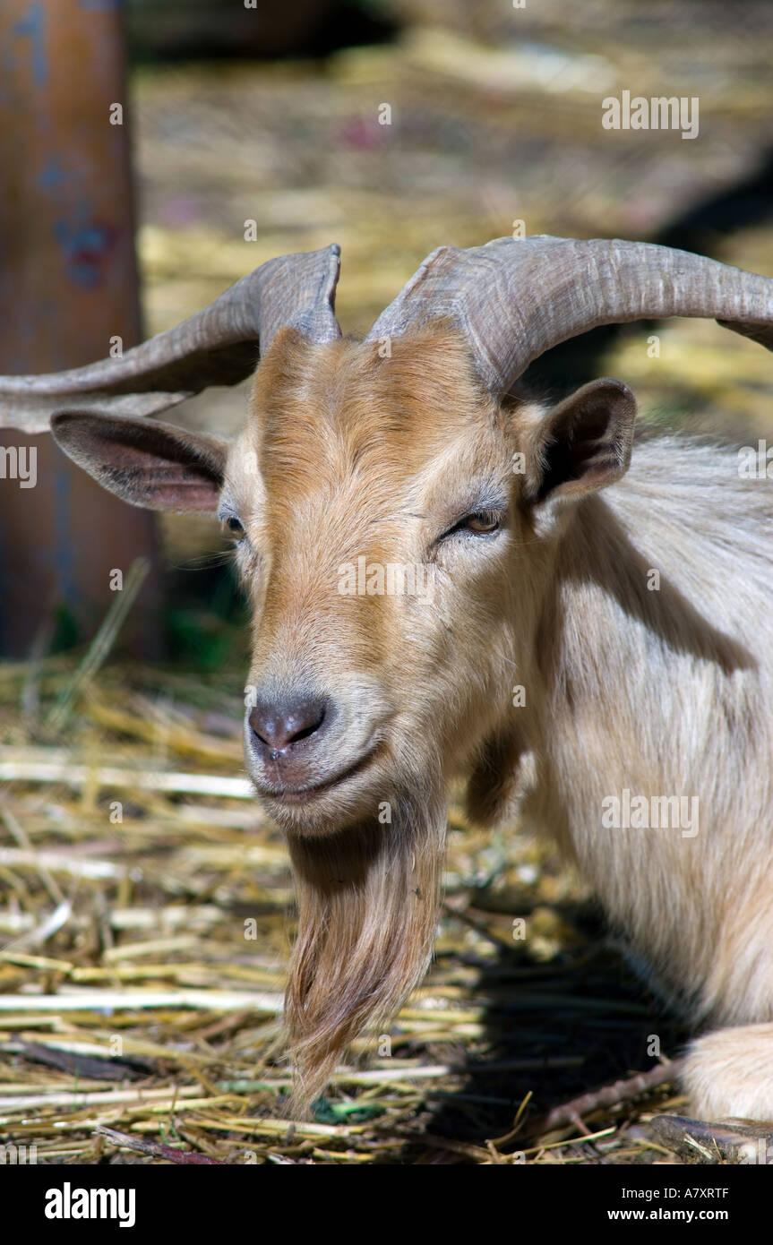 Tunisian Horned Goats Milk Cheese Beard Nanny Billy Stock