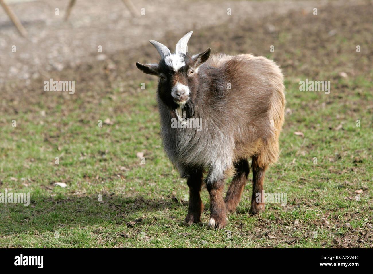 Pygmy Goat Pet Stock Photos & Pygmy Goat Pet Stock Images