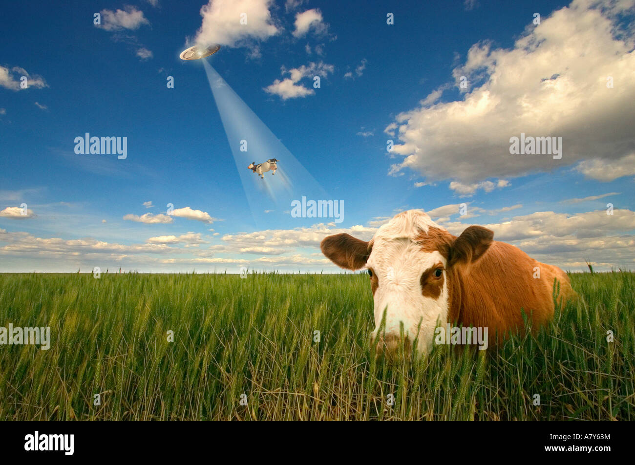 Cow abduction - Stock Image