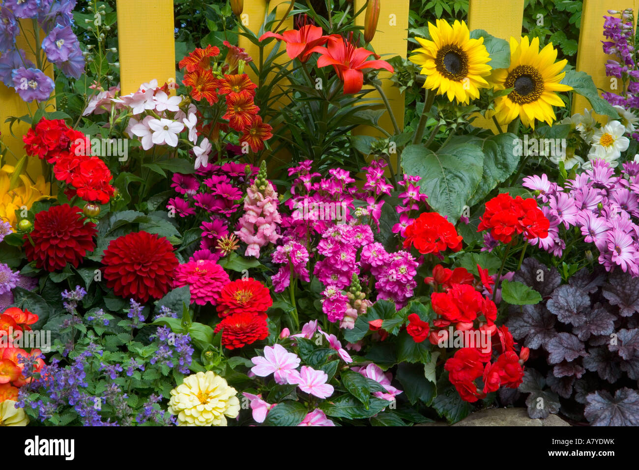 yellow picket fence with flower garden in front. sunflowers, painted