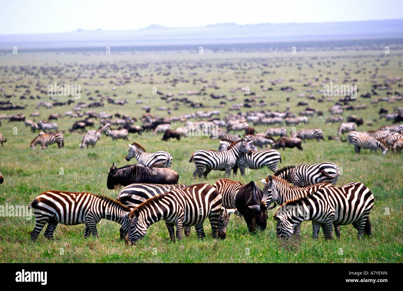 Serengetti Plains full of herds of Zebras and Wildebeast, Tanzania Africa - Stock Image