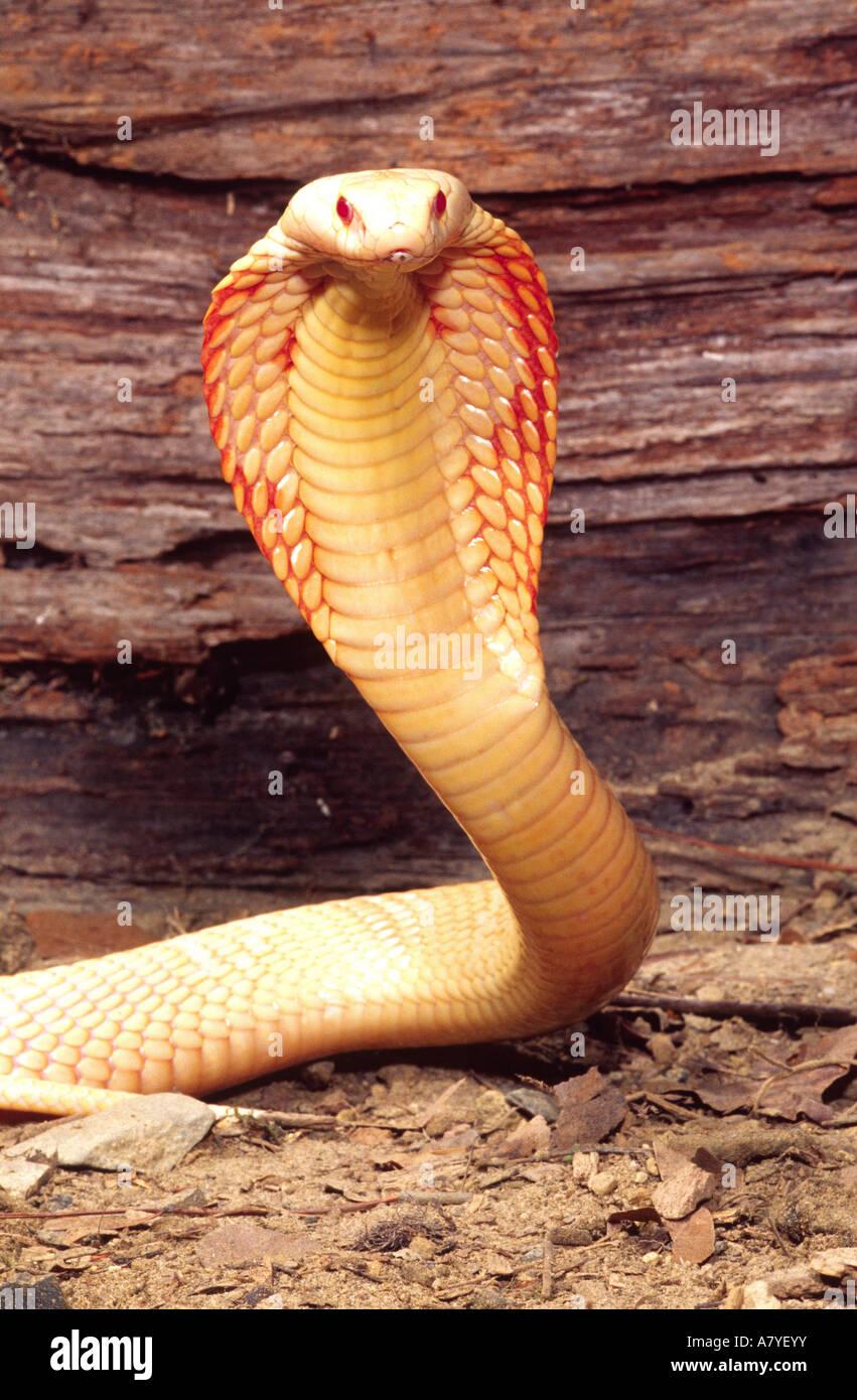 Albino Monocled Cobra, Naja naja kaouthia, Native to South ...Naja Kaouthia Suphanensis