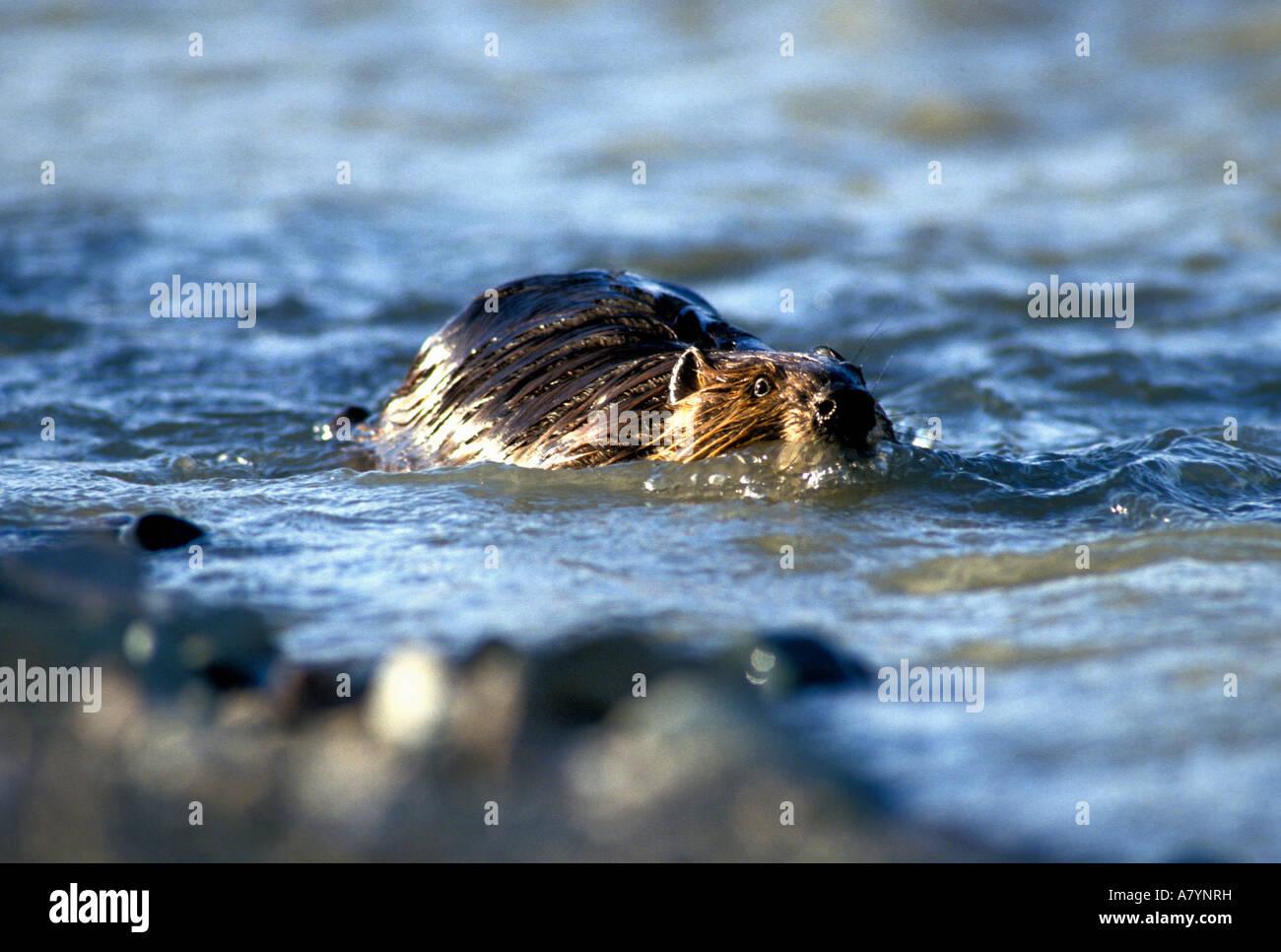 USA, Alaska, Denali National Park, Beaver (Castor canadensis) swims through swift waters of Teklanika River - Stock Image