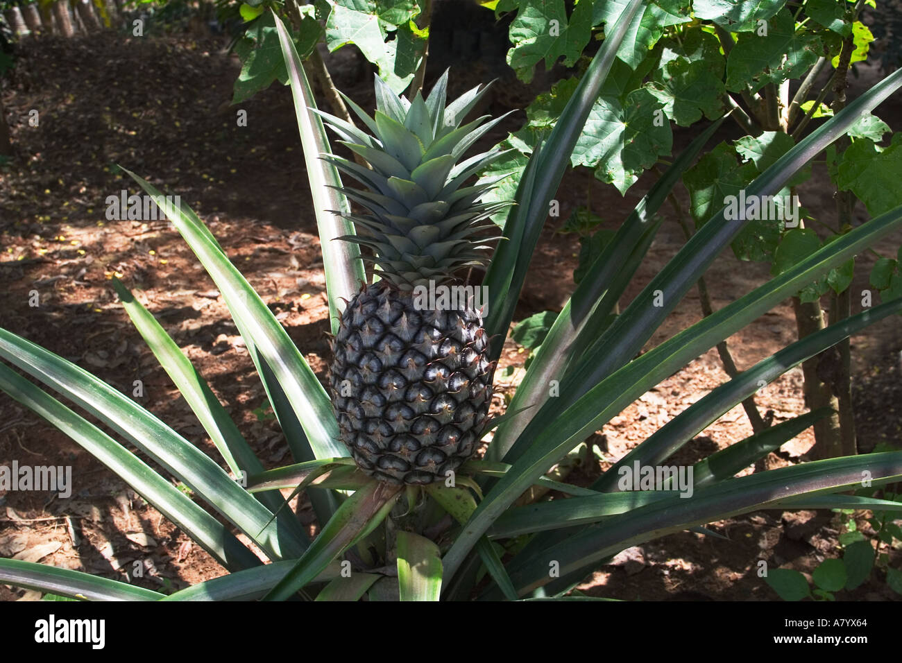 Pineapple for fair trade export growing in Ghana West Africa - Stock Image