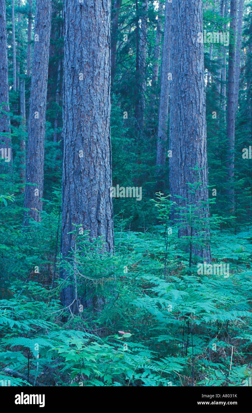 Pines In Wooded Area Stock Photos Amp Pines In Wooded Area
