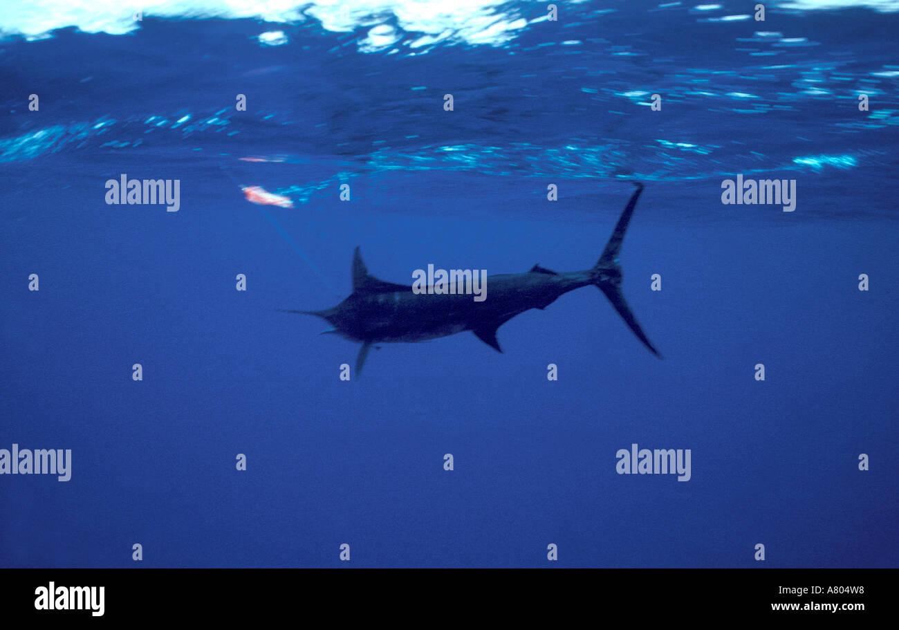 Blue marlin underwater in open ocean big game fishing ...