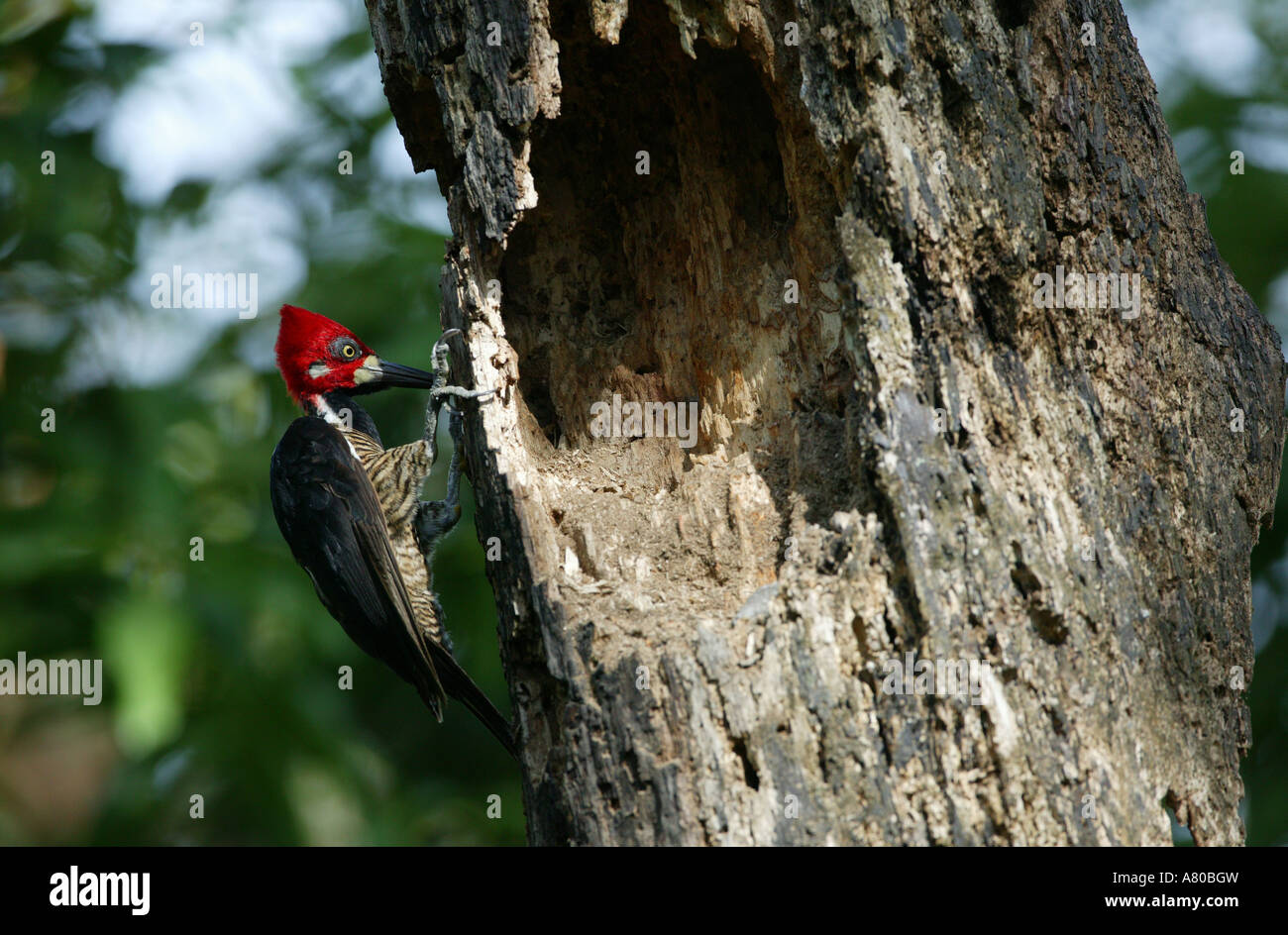 Crimson-crested Woodpecker in Metropolitan park, Republic of Panama. - Stock Image