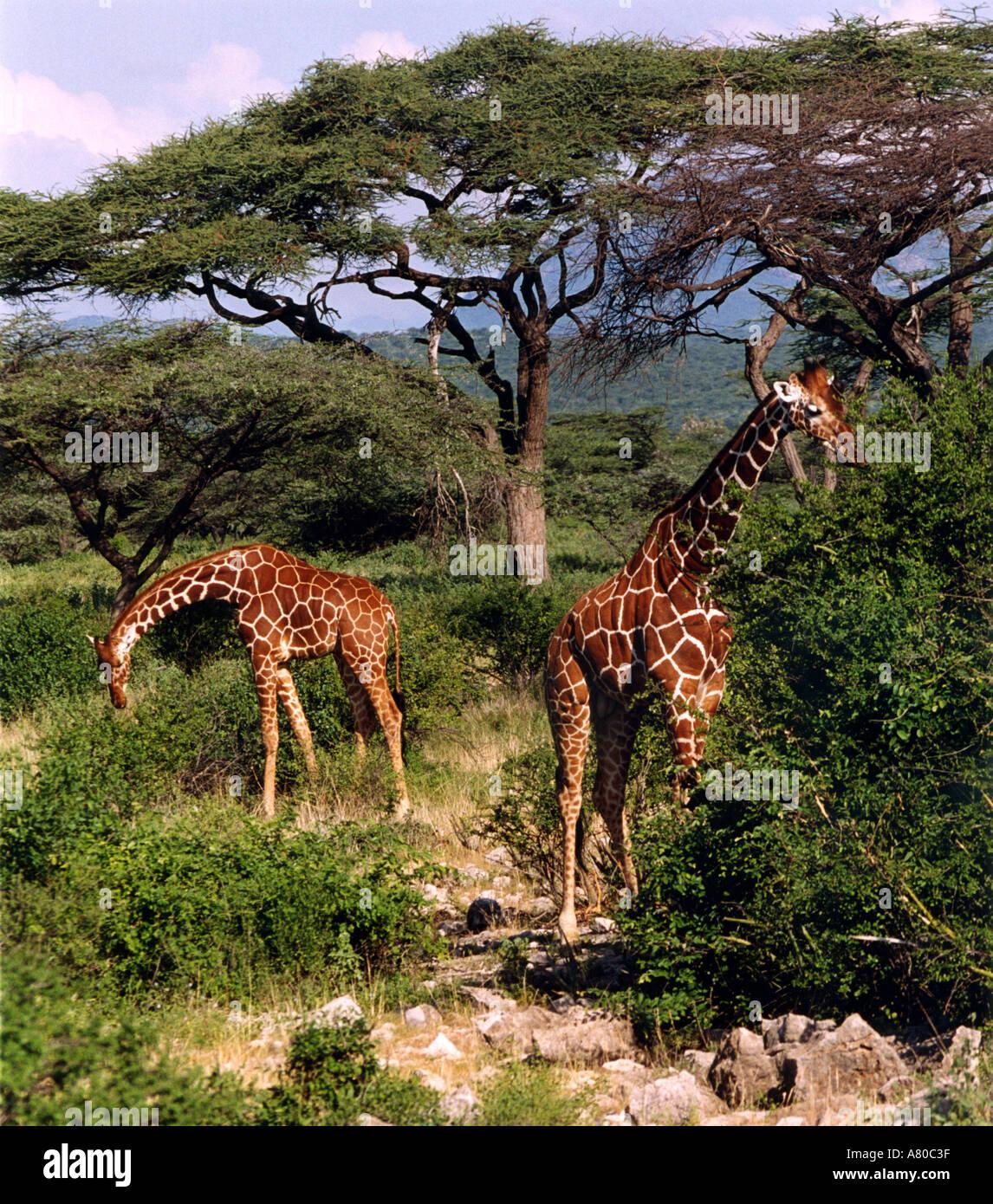 Rothschild Giraffe, Giraffa camelopardalis rothschildi Kenya - Stock Image