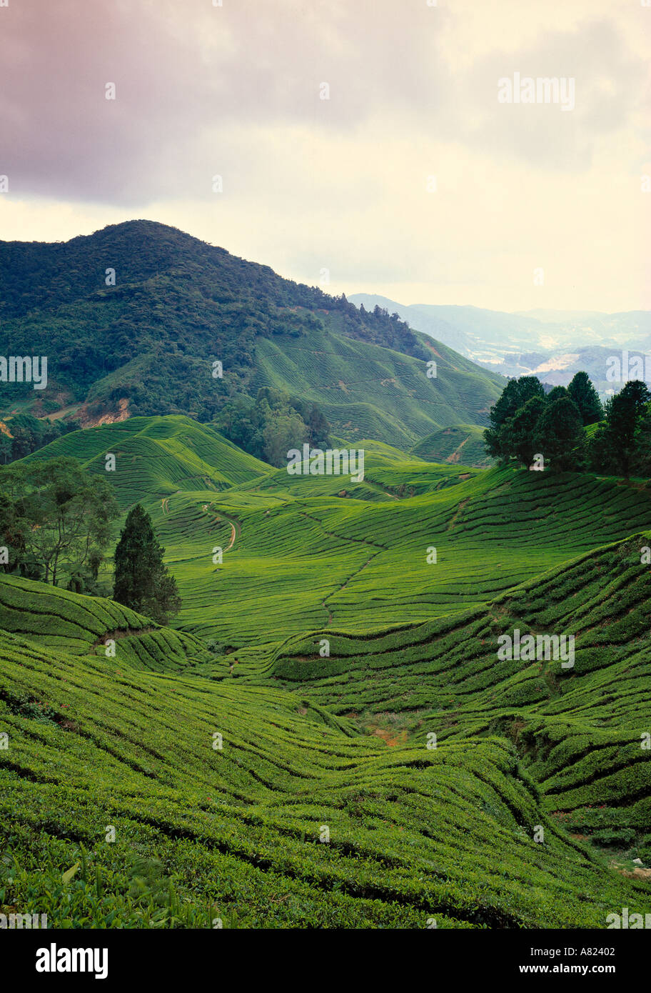 Tea Estate, Cameron Highlands, Malaysia - Stock Image