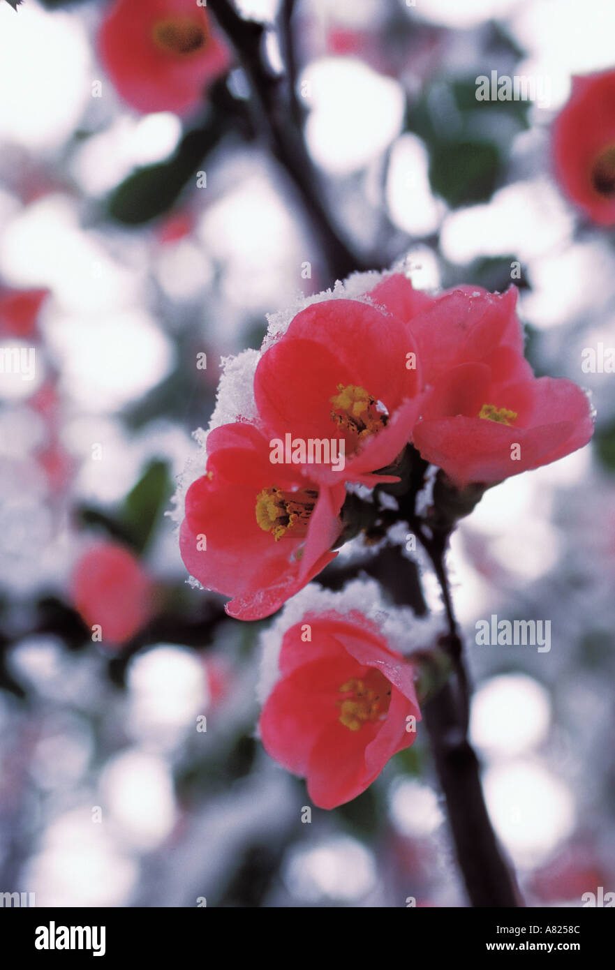 Close up of pink wild cherry blossoms during New York spring weather anomaly - Stock Image