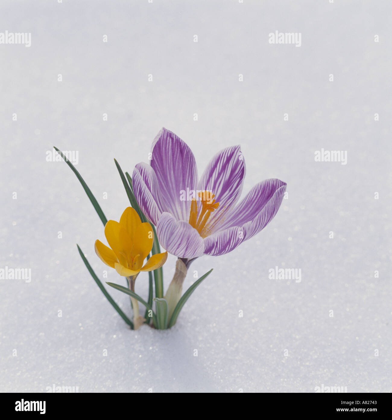 Yellow and Purple Crocuses in Snow - Stock Image