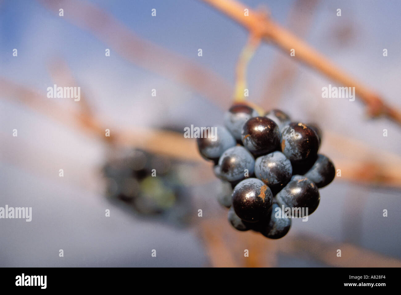 South Africa, Stellenbosch, Grapes on the vine Stock Photo