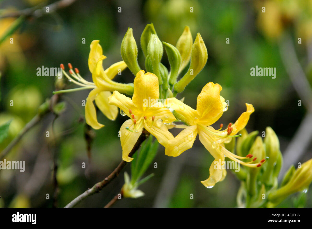 Rhododendron luteum in Holbrook Garden - Stock Image