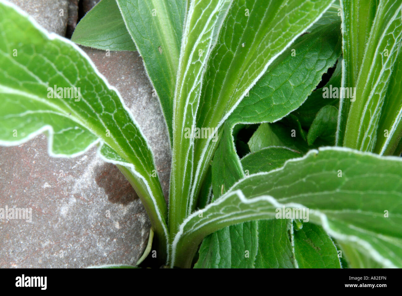 Digitalis parviflora has a distinctive silver margin to the leaf - Stock Image
