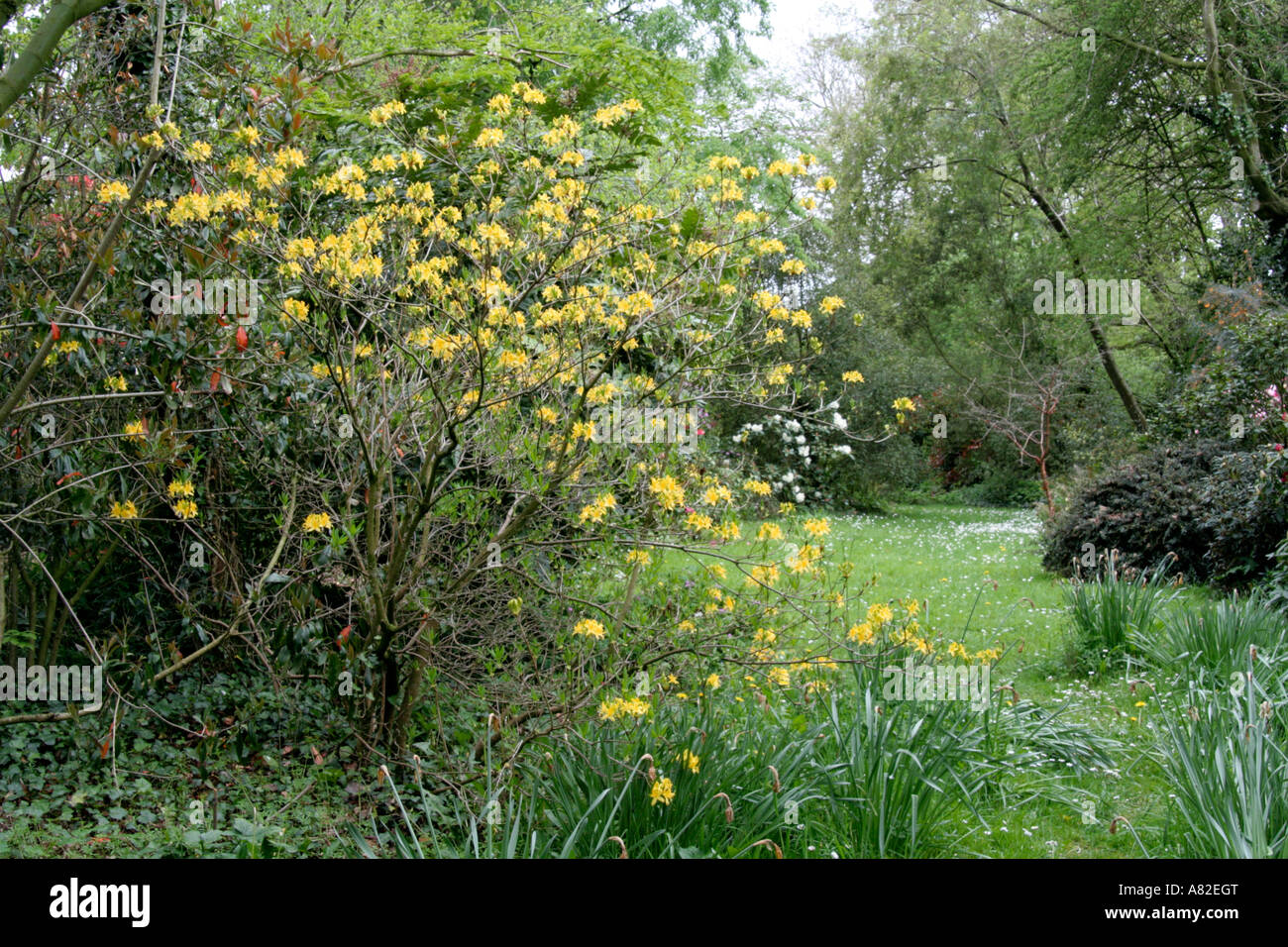 Holbrook Garden Devon April 25 with Rhododendron luteum - Stock Image
