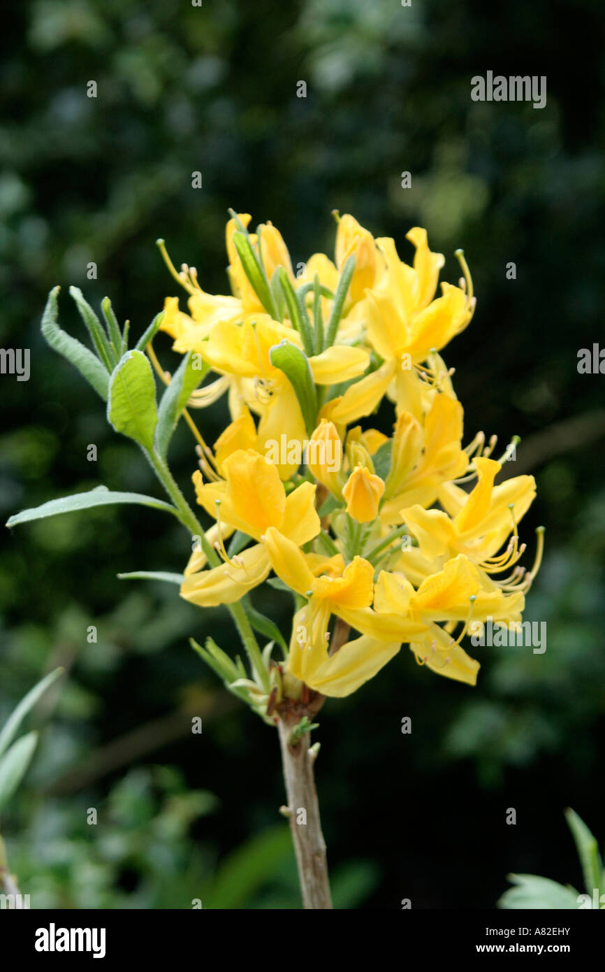 Rhododendron luteum form with a good glaucous leaf - Stock Image