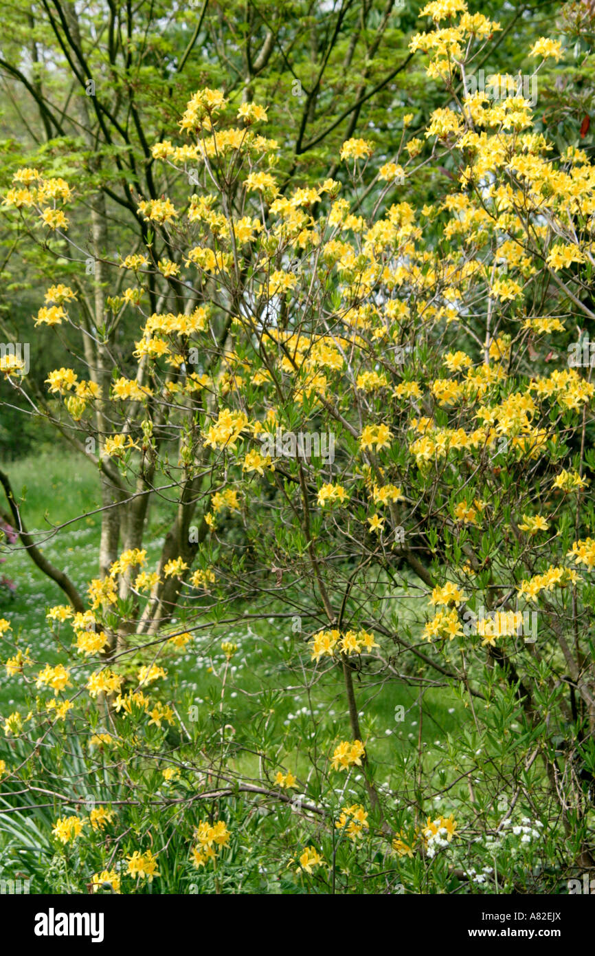 Rhododendron luteum in Holbrook Garden late April - Stock Image