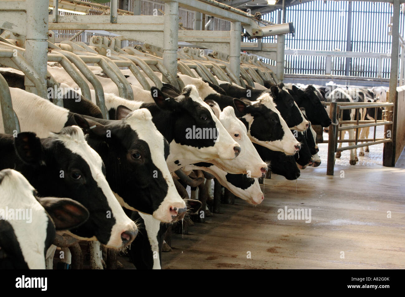 Dairy cows being milked automatically in a milking shed in Gloucestershire, UK Stock Photo