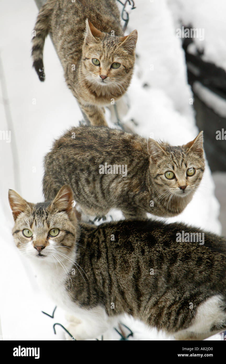 Three domestic cats in snow, New York City, New York, USA - Stock Image