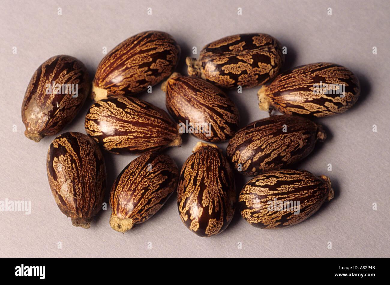 Castor Oil Plant Ricinus Communis Seeds Stock Photo Alamy