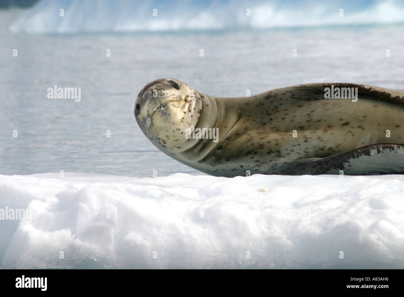 Leopard seal lying on a slab of sea ice in Antarctica - Stock Image