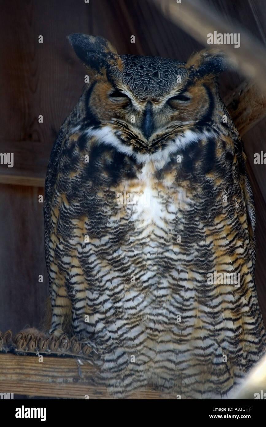 Great Horned Owl Bubo virginianus photographed in captivity Bay Beach Wildlife Sanctuary Green Bay Wisconsin Stock Photo
