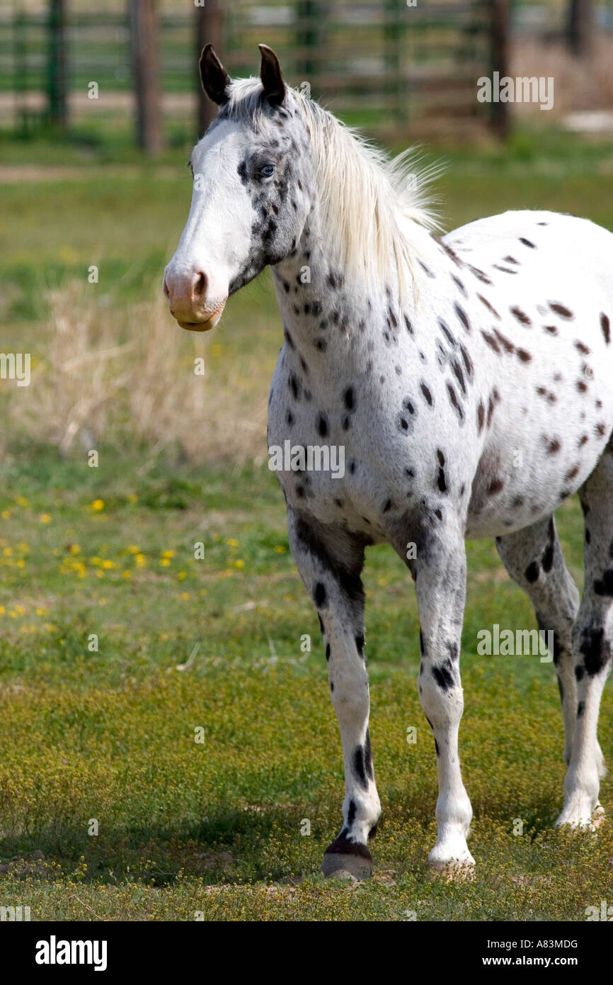 State Horse Of Idaho Stock Photos & State Horse Of Idaho