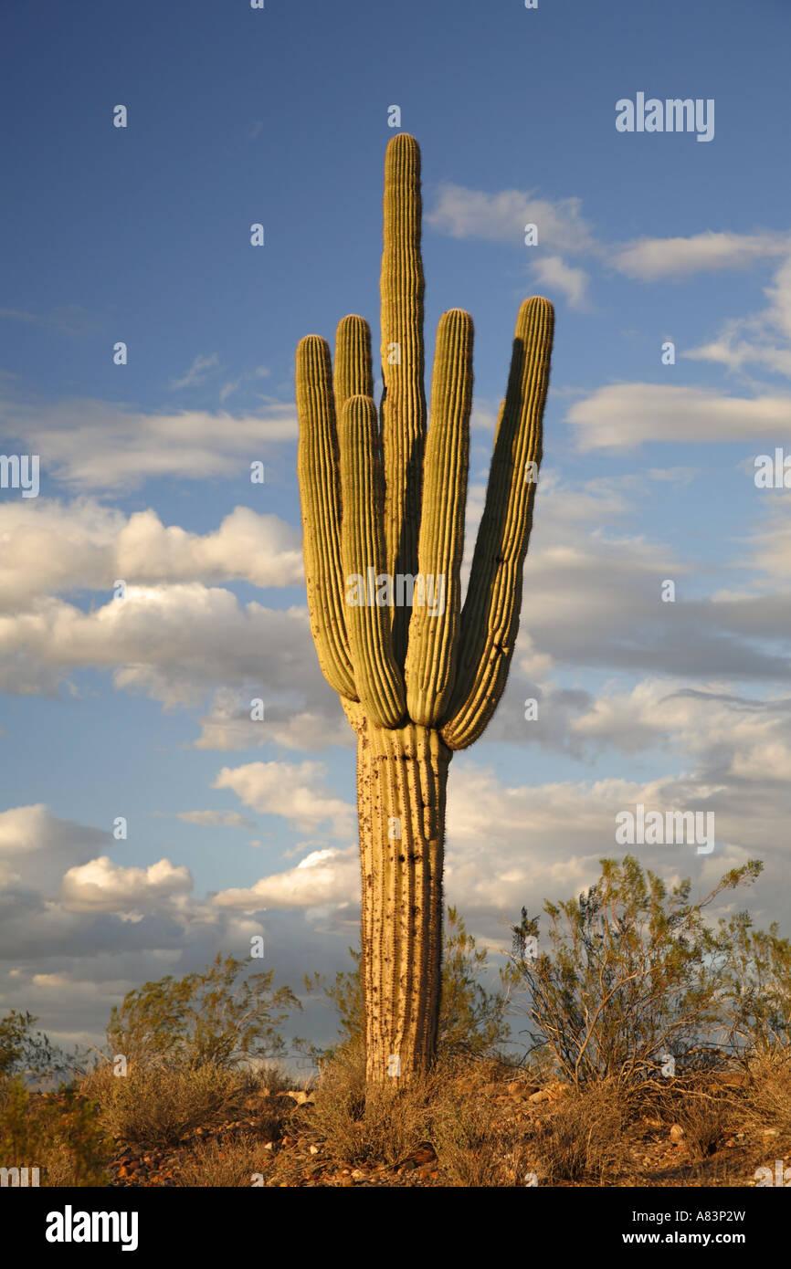 Saguaro Cactus in Fountain Hills near Phoenix Arizona - Stock Image