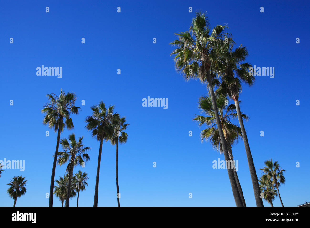palm trees nearby boardwalk at venice beach, california, usa - Stock Image