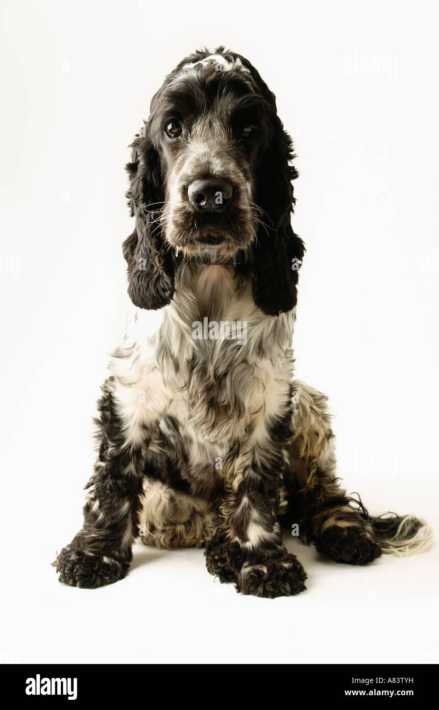 Cocker Spaniel dog against white background - Stock Image