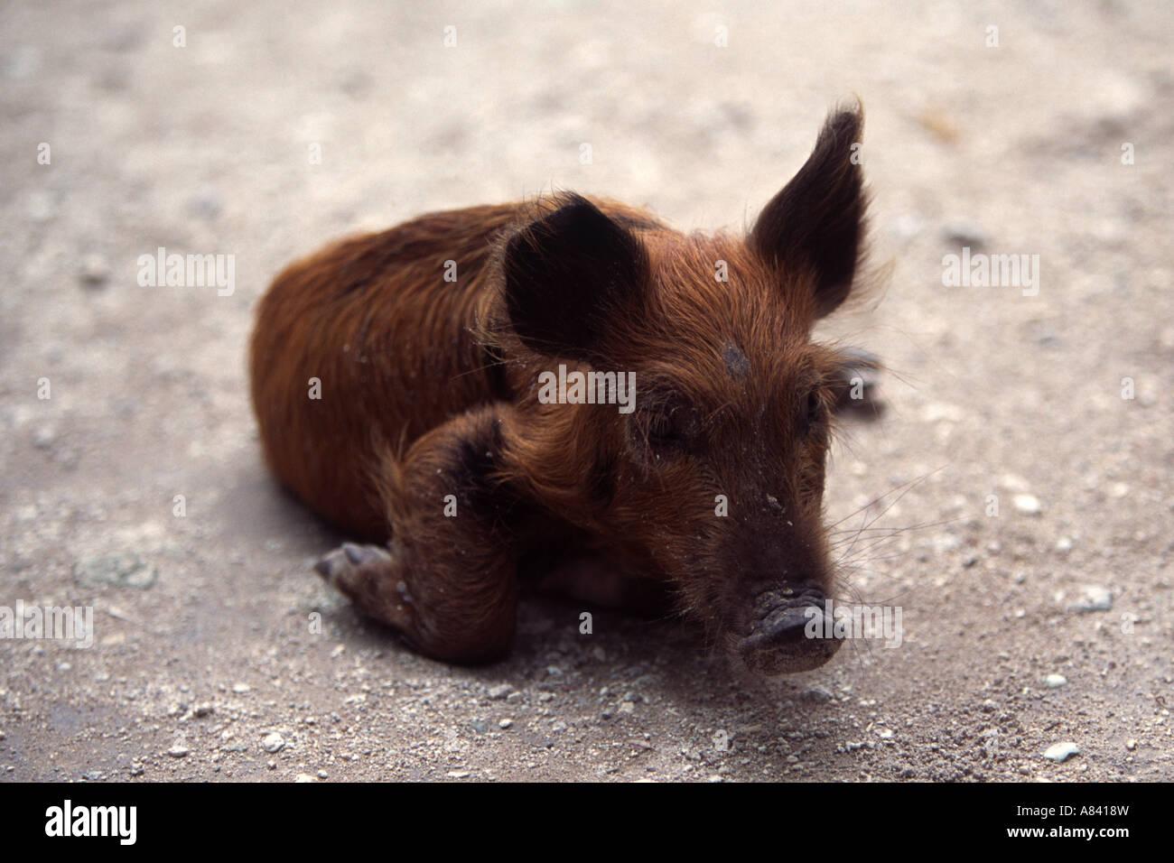 A Piglet on the Island of Tarawa, Kiribati South Pacific - Stock Image